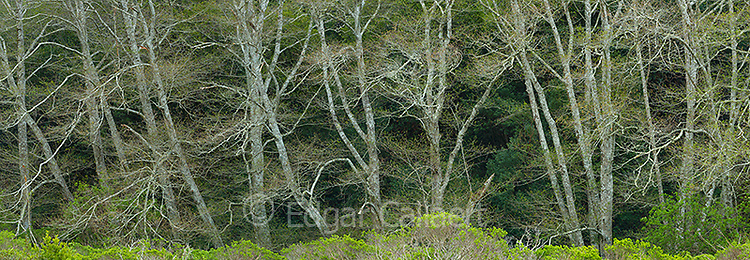 Red Alders, Alnus rubra, Redwood Creek, Mount Tamalpais State Park, Marin County, California