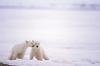 polar bear, Ursus maritimus, cubs in the 1002 coastal plain of the Arctic National Wildlife Refuge, Alaska, polar bear, Ursus maritimus