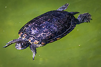 Looking directly into the camera, a turtle floats in the Japanese Garden koi pond in Hayward, California.