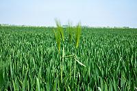 Barley contaminant in winter wheat