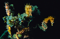 short snouted seahorse,s, Hippocampus breviceps, group gathered for breeding, Edithburgh, South Australia, Australia, Southern Ocean
