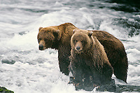 Alaskan Brown bear or Grizzly Bear (Ursus arctos) sow and cub fishing.  Katmai National Park, Alaska.