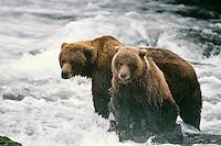 Alaskan Brown bear or Grizzly Bear (Ursus arctos) sow and cub fishing.  Katmai National Park, Alaska.