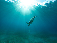 Green Sea Turtle<br /> Buck Island<br /> St. Thomas<br /> US Virgin Islands