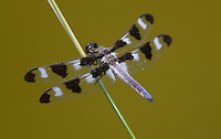 Twelve-spotted Skimmer (Libellula pulchella) Dragonfly - Male, Ward Pound Ridge Reservation, Cross River, Westchester County, New York