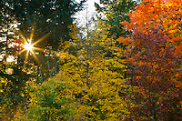 A sunburst with sunbeams is seen shining through the evergreen trees with the Fall colors of orange, red and yellow on the maple trees during Fall in Portland, OR