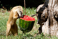 A coati refreshes with a frozen watermelon at the Bioparco of Rome, Italy, August 8, 2017. Rome temperatures exceeded 40 degrees C.<br /> UPDATE IMAGES PRESS/Riccardo De Luca