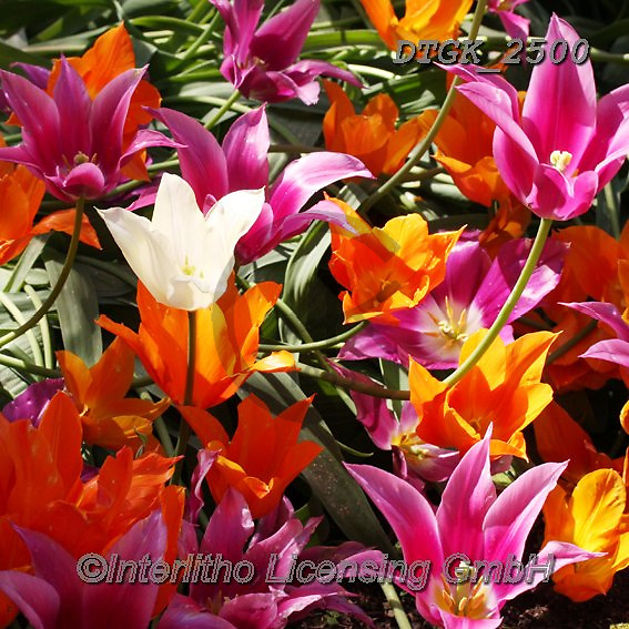Gisela, FLOWERS, BLUMEN, FLORES, photos+++++,DTGK2500,#f#, EVERYDAY