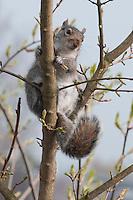 Grey Squirrel (Sciurus carolinensis)  climbing a tree in early spring in a car park in  Fulwood, Preston, Lancashire