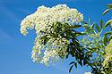 Elder {Sambucus nigra} blossom, Peak District National Park, Derbyshire, UK. July.