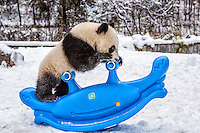 7 month old giant panda cub on a blue rocking toy.  (Ailuropoda melanoleuca)  China Conservation and Research Center for the Giant Panda,  Wolong Nature Reserve, Sichuan, China