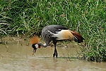A single Grey Crowned Crane hunting for food in Lake Manyara, Africa