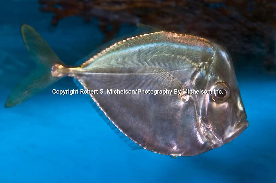 atlantic moonfish