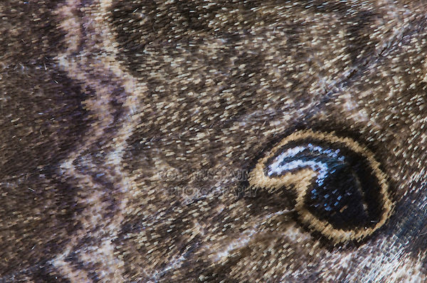 Black Witch Moth, Ascalapha odorata, close up of wing, Willacy County, Rio Grande Valley, Texas, USA, June 2006