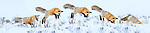 Adult red fox (Vulpes vulpes) hunting for rodents - 'snow diving' - in deep snow. Hayden Valley, Yellowstone, USA. February (Composite sequence of five images)
