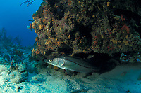 snook Centropomus undecimalis Ft. Lauderdale, Florida (Western Atlantic Ocean)