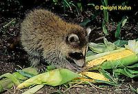 MA25-206z  Raccoon - eating corn in garden - Procyon lotor