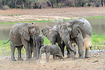 Female African elephants (Loxodonta africana) with calves / infants dust bathing. South Luangwa National Park, Zambia.