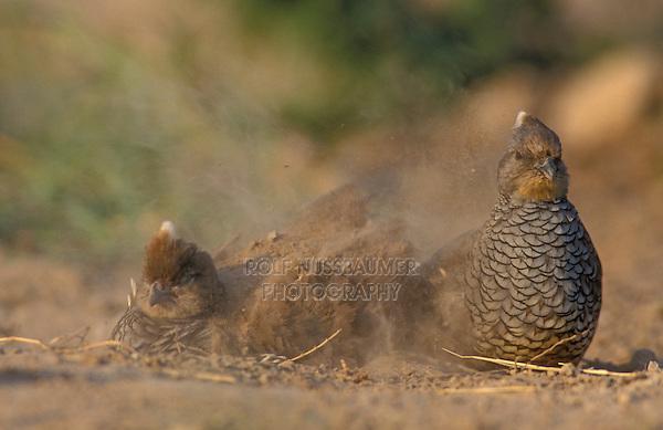 Scaled Quail, Callipepla squamata,pair dust bathing, Starr County, Rio Grande Valley, Texas, USA