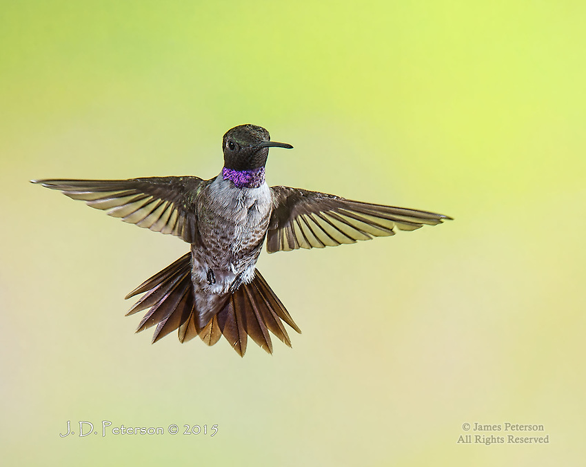 Black-Chinned Hummingbird, Sedona, Arizona
