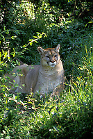 Wild puma cat, Puma concolor, resting in the shade near Tallahassee Florida, USA
