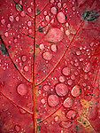 Drops of rain bubble on a maple leaf during autumn in Acadia National Park, Maine, USA