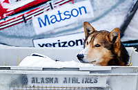 An Aliy Zirkle dog rests in a dog kennel in the dog lot in Nome  during the 2017 Iditarod on Friday March 17, 2017.<br /> <br /> Photo by Jeff Schultz/SchultzPhoto.com  (C) 2017  ALL RIGHTS RESERVED