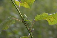 Zwitscherschrecke, Zwitscher-Heupferd, Weibchen mit Legebohrer, Zwitscherheupferd, Zwitscher-Schrecke, Heupferd, Tettigonia cantans, twitching green bushcricket, twitching green bush cricket, twitching green bush-cricket, female, la sauterelle cymbalière, Tettigoniidae