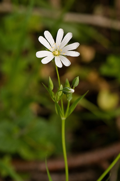 Greater stitchwort (Stellaria holostea), East Sussex, early May.