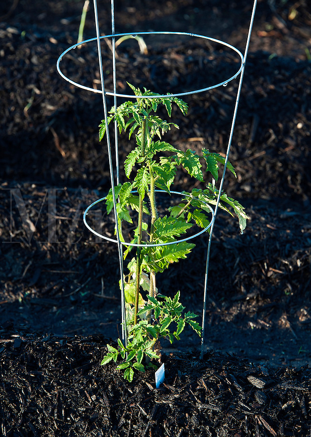 Young tomato plant in a garden.