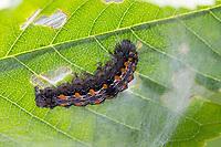 Vierpunkt-Flechtenbär, Vierpunkt-Flechtenbärchen, Großer Flechtenbär, Raupe, Lithosia quadra, Four-spotted Footman, caterpillar, La Lithosie quadrille, Eulenfalter, Noctuidae, Bärenspinner, Arctiinae