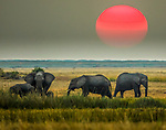 African bush elephant (Loxodonta africana), Okavango Delta, Botswana<br /> <br /> In late summer and fall, the Okavango sun is a great thing to incorporate, as there are so many grass fires burning. When the sun is close to the horizon, the crimson color is easy to capture as the sun rises or sets through the particulates in the air.<br /> <br /> Canon EOS-1D X, EF200-400mm f/4L IS USM lens EXT, f/5.6 for 1/200 second, ISO 640