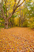 Maple trees along a walking path at Odiorne Point State Park (Fort Dearborn) in Rye, New Hampshire USA during the autumn months. Fort Dearborn is an old World War II fort. The U.S. Army deactivated Fort Dearborn in 1948.