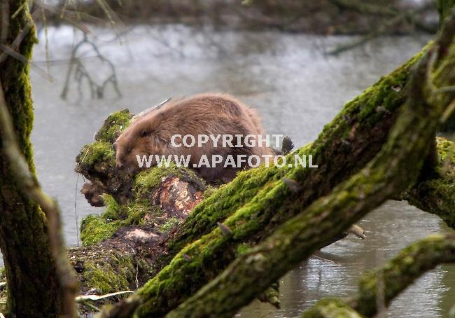 Millingerwaard 160111 Ook deze bever (een van de naar schatting 9 bevers in de gelderse poort) heeft een droog plekje boven het hoge water gevonden.<br /> Foto Frans Ypma APA-foto
