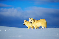 Two Arctic Wolves (Canis lupis) in winter snow.