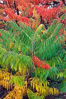 Cutleaf Sumac (Rhus glabra 'Laciniata) in fall color. Hoyt Arboretum. Portland, Oregon