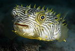 Yellow striped Burrfish, Chilomycterus schoepfi