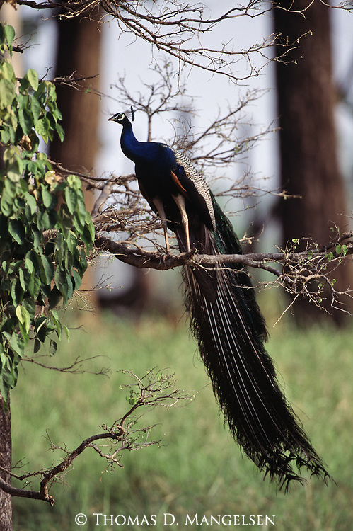 Indian blue peacock perched in a tree