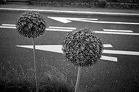 Switzerland. Canton Ticino. Lugano. Traffic signs. White  arrows on black asphalt road. Flowers decoration. Allium is one of the purple spring flowers that appear in May. The flower umbels are between 8 and 10 cm in diameter. They are made up of hundreds of dark purple flowers perched at the top of the stem, which measures between 80 cm and 1 meter. 17.05.2020 © 2020 Didier Ruef