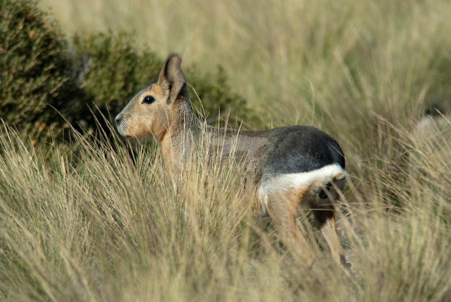 Mara of Patagnonische haas (Dolichotis patagonum)Mara of Patagonische haas (Dolichotis patagonum)