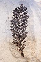 Versteinerte Pflanze, Fossil, Fossilien, Versteinerung, Versteinerungen, fossils, Moler von den Inseln Fur und Mors, Diatomit oder Kieselgur, Übergang vom Oberen Paläozän zum Unteren Eozän vor etwa 55 Millionen Jahren entstandenes Sedimentgestein, Limfjord, Dänemark