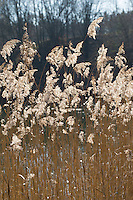 Gewöhnliches Schilf, Rohr, Schilfrohr, Schilfgebiet, Schilfgürtel, Röhricht, Ufer, Phragmites australis, Phragmites communis, Reed, Reed Grass, Roseau