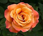 "A ""Tuscan Sun"" rose seen in the English Garden at the Huntington Library, Art Collections and Botanical Gardens, Pasadena, California"