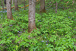 Great Smoky Mountains National Park, Tennessee: Mayapples (Podophyllum peltatum), wild blue phlox (Phlox divaricata) and yellow trillium (Trillium luteum) blooming under a forest understory in White Oak Sink