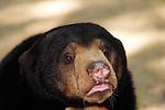 Malayan Sunbear-Honey Bear-Helarctos malayanus