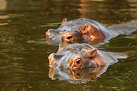"""Stock photo of a pair of Hippos or Hippopotamus strolling <br /> through water with only their heads just above the water surface crossing river.<br /> <br /> This image is also available in monochrome. View the gallery-""""Black & White Fine Art""""."""