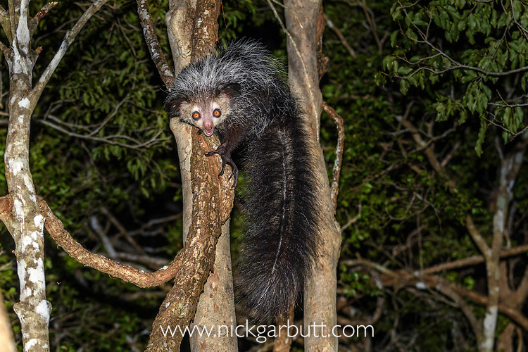 Adult aye-aye (Daubentonia madagascariensis) active and foraging in forest canopy at night. Deciduous forests, Daraina, northern Madagascar. Critically Endangered.