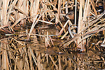 A pair of muskrats in the cattail reeds along a small stream