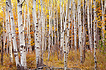 Autumn colors the birch trees in Acadia National Park, Downeast, ME, USA
