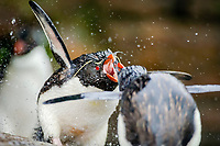 southern rockhopper penguin, Eudyptes chrysocome chrysocome, a subspecies of rockhopper penguin, Eudyptes chrysocome, taking freshwater shower, Saunders Island, Falkland Islands, Atlantic Ocean